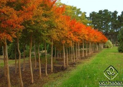 lagerstroemia otoño